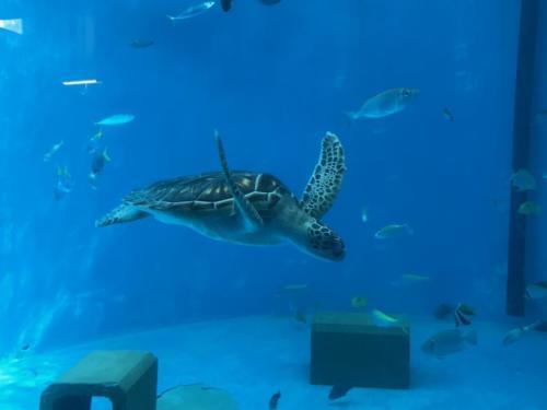 アオウミガメもいます